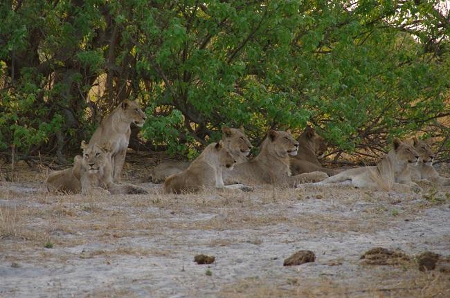 Leones en botswana